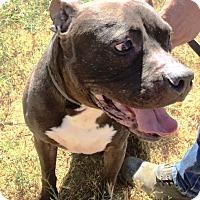 Adopt A Pet :: Quigley - Rancho Cucamonga, CA