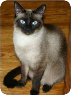 Siamese Cat for adoption in Etobicoke, Ontario - Little Boy