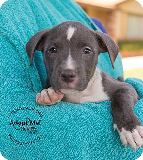 Pit Bull Terrier Mix Puppy for adoption in Gilbert, Arizona - Nala