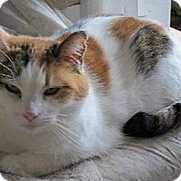 Adopt A Pet :: CallyCoCat - Amery, WI