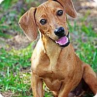 Adopt A Pet :: Doc - Albany, NY
