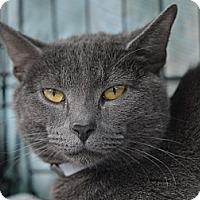 Adopt A Pet :: Argento - Brooklyn, NY