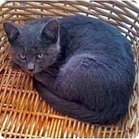 Adopt A Pet :: Adonis - Alexandria, VA