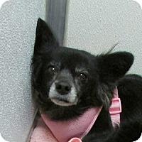 Adopt A Pet :: Pixie - Gilbert, AZ