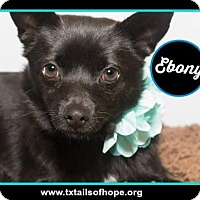 Adopt A Pet :: Ebony - Forreston, TX