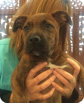 Sky | Adopted Dog | Jacksonville, FL | Plott Hound/Black ...