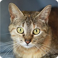 Domestic Shorthair Cat for adoption in South Haven, Michigan - Ruffian