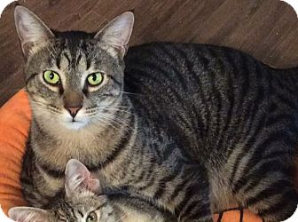 Domestic Shorthair Cat for adoption in Houston, Texas - Kenickie