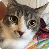 Domestic Shorthair Cat for adoption in Putnam, Connecticut - Blynken