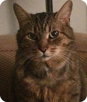 Domestic Shorthair Cat for adoption in Toronto, Ontario - Millie