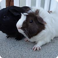Adopt A Pet :: Dresden & Tazzy - Fullerton, CA