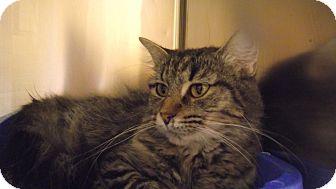 Domestic Shorthair Cat for adoption in Appleton, Wisconsin - Churro *Petsmart GB*