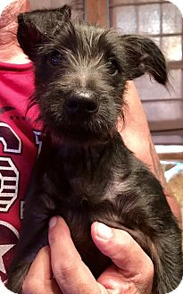 Terrier (Unknown Type, Small) Mix Puppy for adoption in chicago, Illinois - Eli