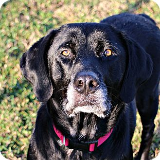 Labrador Retriever/Retriever (Unknown Type) Mix Dog for adoption in Dunkirk, New York - Dora