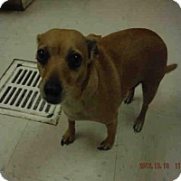 Chihuahua Dog for adoption in Oroville, California - ZEUS