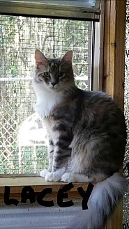 Calico Cat for adoption in Ocala, Florida - Lacey