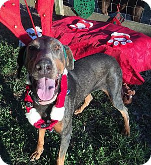 Doberman Pinscher Dog for adoption in Houston, Texas - Paris