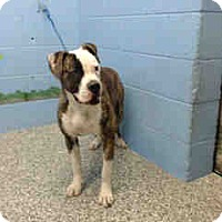 Boxer Mix Dog for adoption in San Bernardino, California - URGENT NOW!  San Bernardino