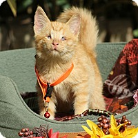 Domestic Shorthair Kitten for adoption in Ocean Springs, Mississippi - Seth GG Lyons