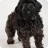 Adopt A Pet :: Tinsel - Raleigh, NC