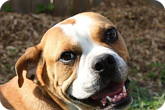 English Bulldog/Bulldog Mix Dog for adoption in Ottawa, Ontario - Lotto