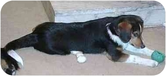 Border Collie/Beagle Mix Dog for adoption in Tiffin, Ohio - Rowdy