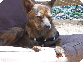 Chihuahua/Miniature Pinscher Mix Dog for adoption in Charlotte, North Carolina - Benson
