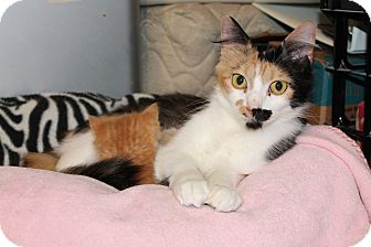 Calico Cat for adoption in St. Louis, Missouri - Chaos