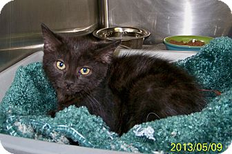 Domestic Mediumhair Kitten for adoption in Dover, Ohio - Dallas