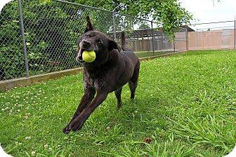 Labrador Retriever Mix Dog for adoption in Brattleboro, Vermont - Annabelle