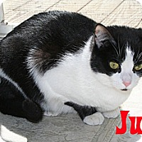 Domestic Shorthair Cat for adoption in East Stroudsburg, Pennsylvania - Judy