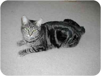 Domestic Shorthair Cat for adoption in Toronto, Ontario - Dawn