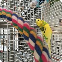 Adopt A Pet :: Parakeet Pair - Punta Gorda, FL