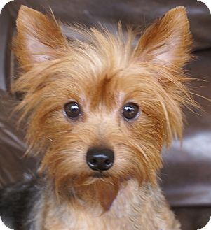 Yorkie Information Kids Image Search Results Dog Breeds Picture