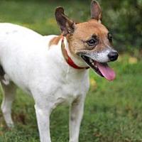 Feist Mix Dog for adoption in Washington, D.C. - HAROLD
