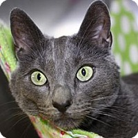 Russian Blue Cat for adoption in Bryn Mawr, Pennsylvania - Blue is bonded with Boris