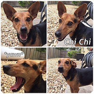 Chihuahua/Beagle Mix Dog for adoption in Palmetto Bay, Florida - Chi Chi