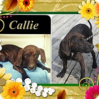 Adopt A Pet :: Callie meet me 2/13 - Manchester, CT