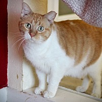 Domestic Shorthair Cat for adoption in San Antonio, Texas - Malcolm