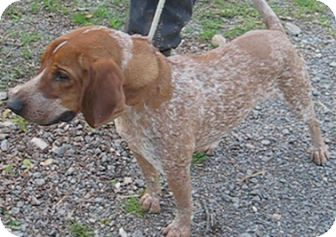 German Shorthaired Pointer/Hound (Unknown Type) Mix Dog for adoption in Tahlequah, Oklahoma - Rossi–TRAINED