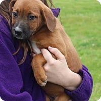 Adopt A Pet :: J Litter--arriving soon! - Chichester, NH