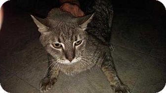 Domestic Shorthair Cat for adoption in Dallas, Texas - Cubby  (Debra)