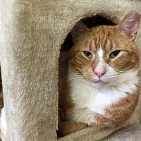 Domestic Shorthair Cat for adoption in Wilmington, Delaware - Eric