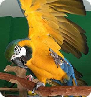 Macaw for adoption in Asheville, North Carolina - Rosco