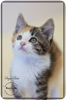 Calico Kitten for adoption in Washburn, Wisconsin - Sugar Bear