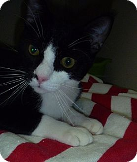 Domestic Shorthair Cat for adoption in Hamburg, New York - Louis