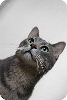 Domestic Mediumhair Cat for adoption in Cedar Rapids, Iowa - Lokie