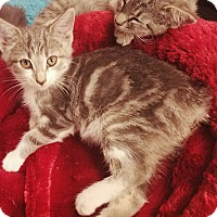 Manx Kitten for adoption in Cerritos, California - Angus