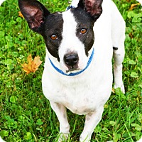 Jack Russell Terrier Mix Dog for adoption in Newport, Kentucky - Jones