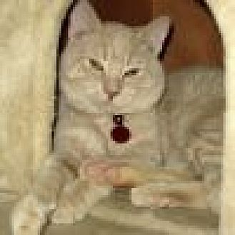 Domestic Shorthair Cat for adoption in Powell, Ohio - Fairfax